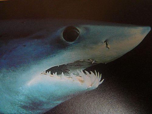 Mako Sharks Pic
