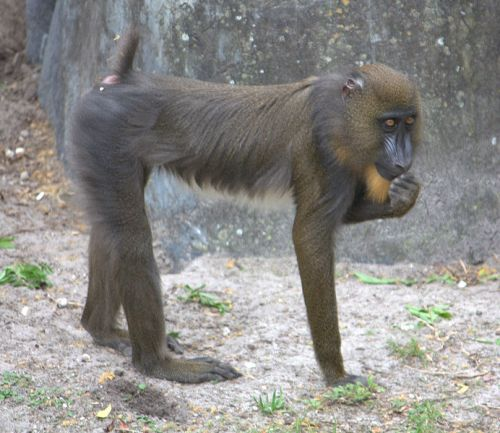 Facts about Mandrills