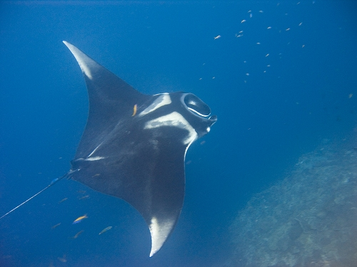 Facts about Manta Ray
