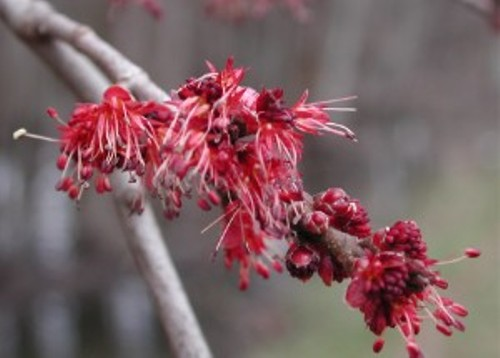 Facts about Maple Trees