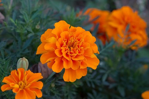 Facts about Marigolds