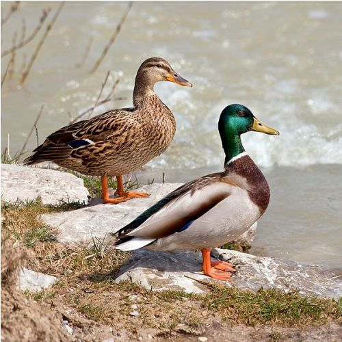 Mallard Ducks Facts