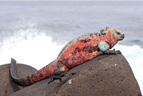 Marine Iguana Facts
