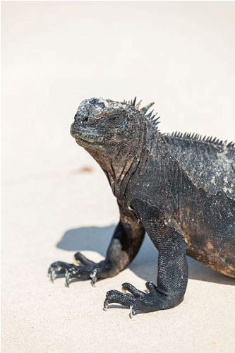 facts about Marine Iguanas